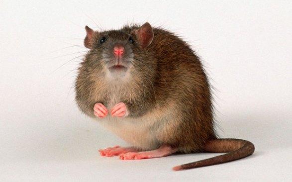 pasadena-rat-control
